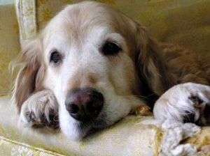 riluttanza al movimento segno di dolore cronico nel cane