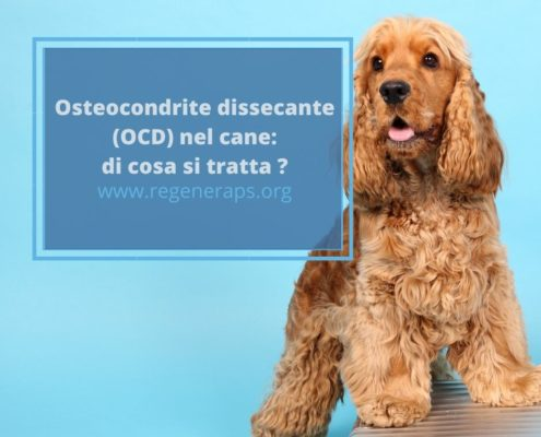 osteocondrite dissecante cane
