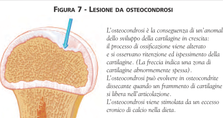 osteocondrosi nel cane ispessimento cartilagine